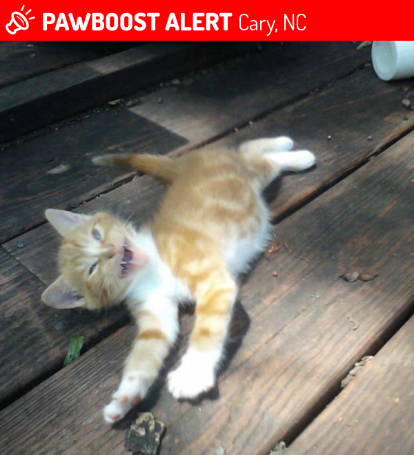 Lost Male Cat In Cary Nc 27519 Named Tiger Id 4696736
