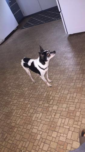 Lost Female Dog last seen Near Academy St & Webster St, Laconia, NH 03246