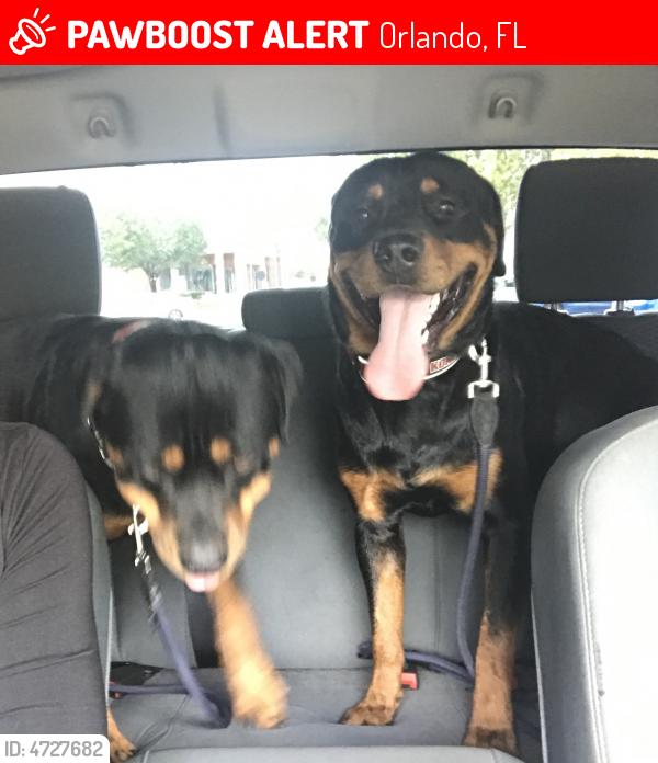 Lost Male Dog In Orlando Fl 32808 Named Tank Id 4727682 Pawboost