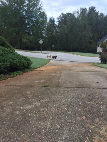 Found Male Dog last seen Near Artesian Spring Dr & Bowman Springs Trl, Flowery Branch, GA 30542