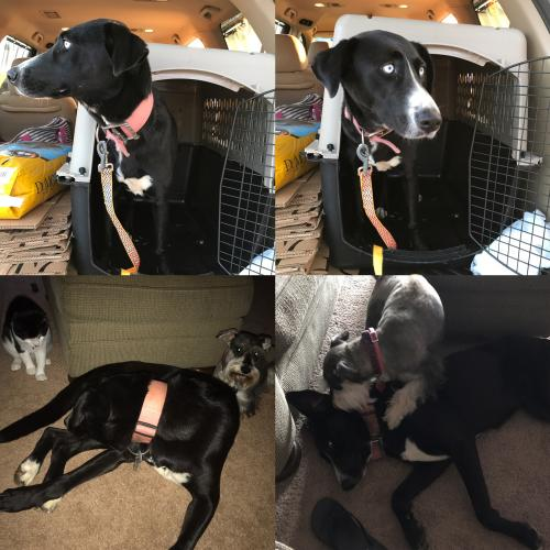 Found Female Dog last seen Near Mountain View Rd. And Old Flowery Branch Rd., Gainesville, GA 30504