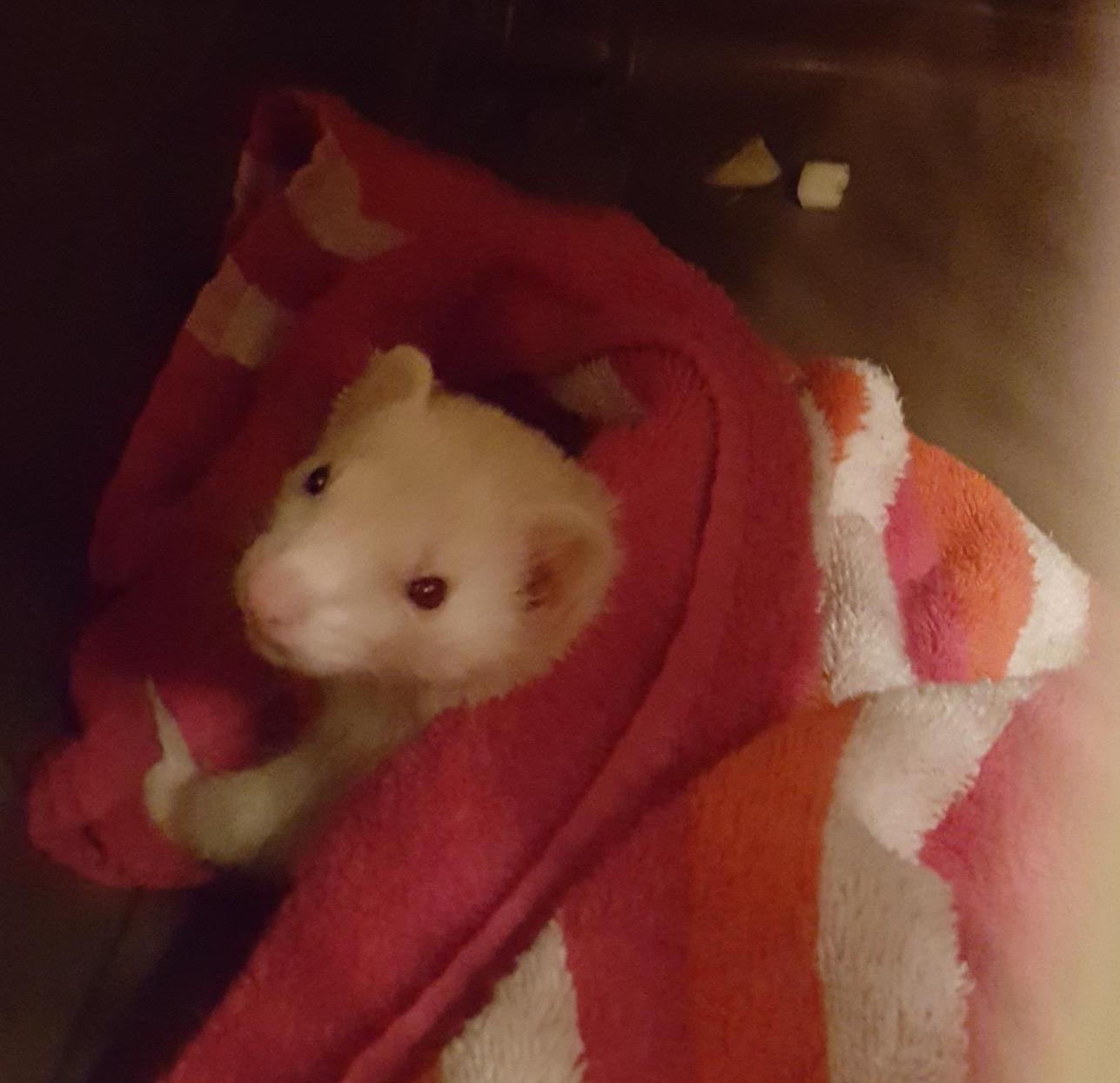 Found Unknown Ferret last seen Near SW 22nd Ave & Germantown Rd, Delray Beach, FL 33445