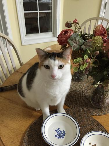 Lost Female Cat last seen Near Wilmington Way & Turnberry Ln, Flowery Branch, GA 30542