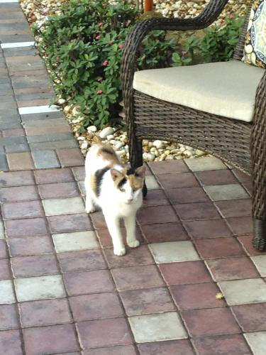 Found Female Cat last seen Near NW 3rd court and NW 23 street 33431, Boca Raton, FL 33432
