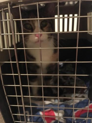 Found Female Cat last seen Cour Chaîne, Orléans, ON, Canada, Ottawa, ON K1C