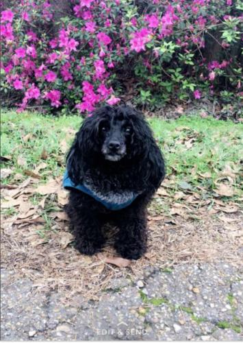 Lost Female Dog last seen Near Foxhill Dr & Shadowood Dr, Hammond, LA 70401