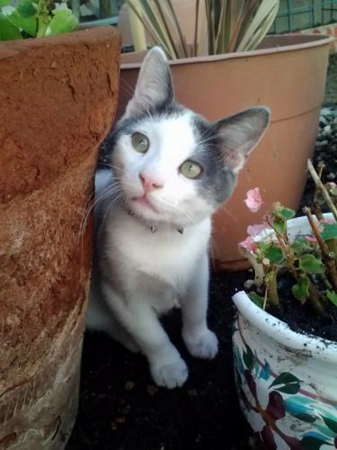 Lost Male Cat last seen Euclid Street In between Warner Avenue/Slater, Fountain Valley, CA 92708