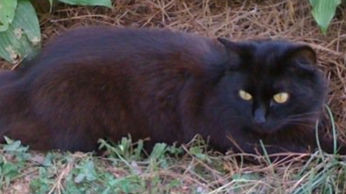 Lost Female Cat last seen Near Spring St & Chestnut St, Social Circle, GA 30025
