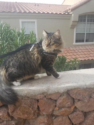 Lost Male Cat last seen Near South Mesa Hills Drive, El Paso, TX, El Paso, TX 79912