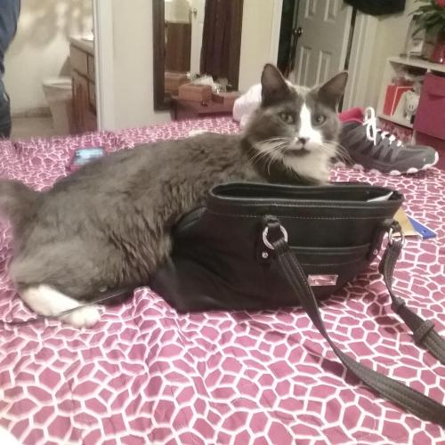Lost Male Cat last seen UGA Community Practice Clinic, Athens, GA 30605