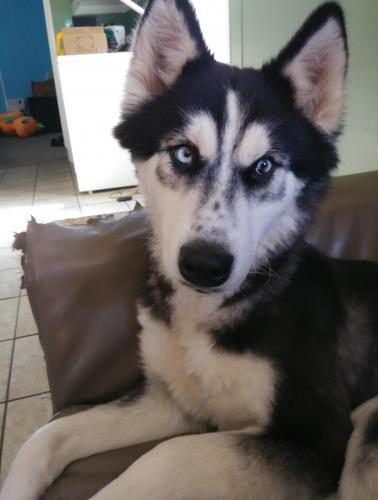 Lost Female Dog last seen Near Heritage Ln & Old Spring Dr, Raleigh, NC 27606