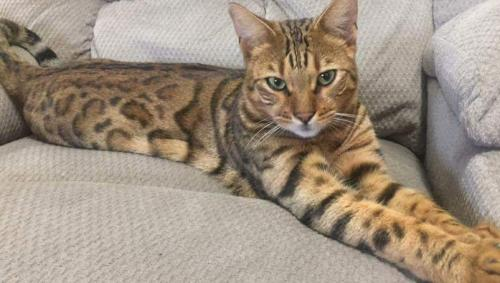 Lost Male Cat last seen Near Highway 11, Elizabeth, IN, Elizabeth, IN 47117