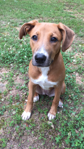 Lost Female Dog last seen Camelia Dr and Gardenia Dr, Athens, GA 30606