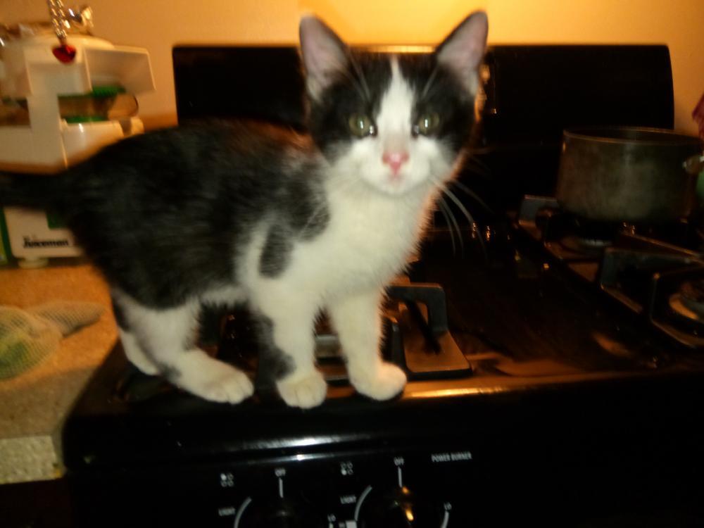 Lost Male Cat last seen SW 1 Ave., Camino Real,Realm Apts, Boca Raton, FL 33432