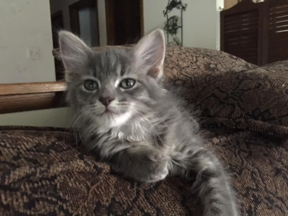 pin omaha riversyde ne for cattery cats kittens lincoln sale