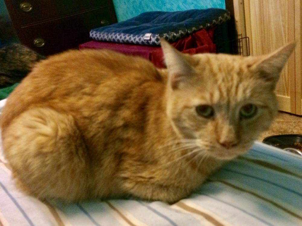 Lost Male Cat last seen Near Oberlin St & Sychar Rd, Mount Vernon, OH 43050