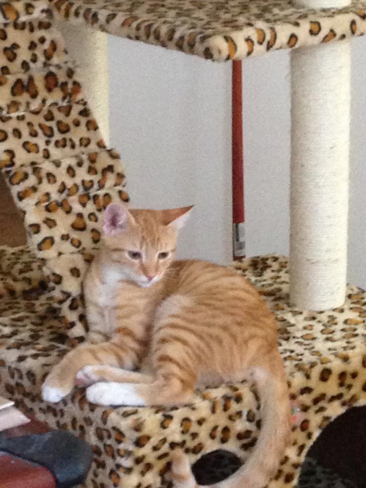 Lost Male Cat last seen Near SW 18th Ct & SW 7th Ter, Boynton Beach, FL 33426