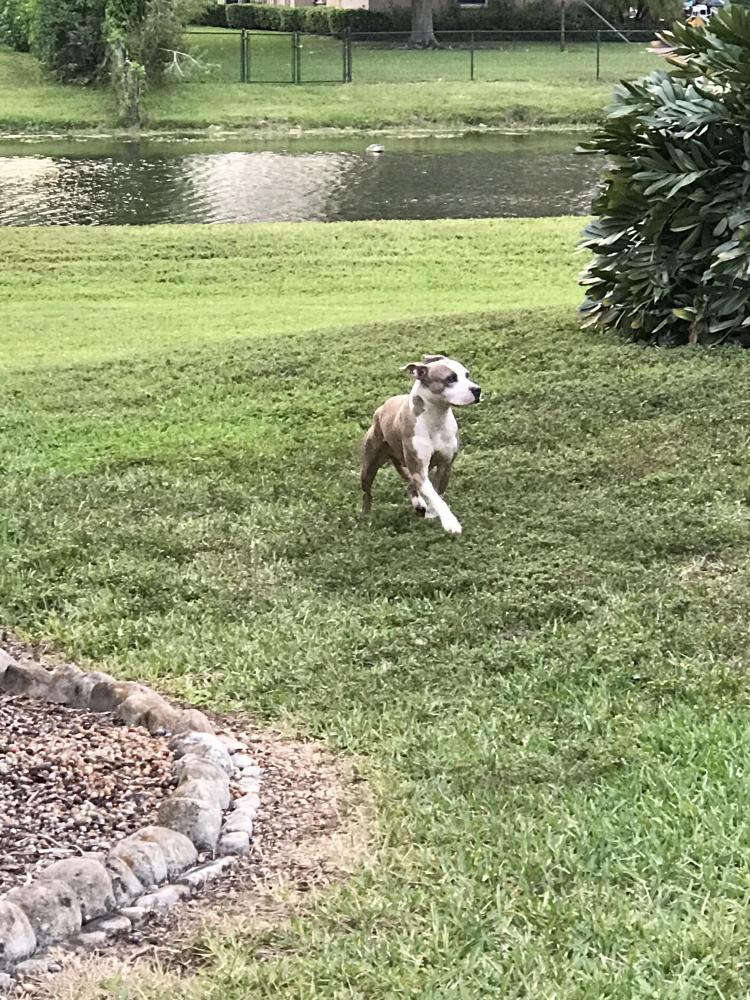 Found/Stray Male Dog last seen Near SW 26 and hiatus rd, Davie, FL 33328