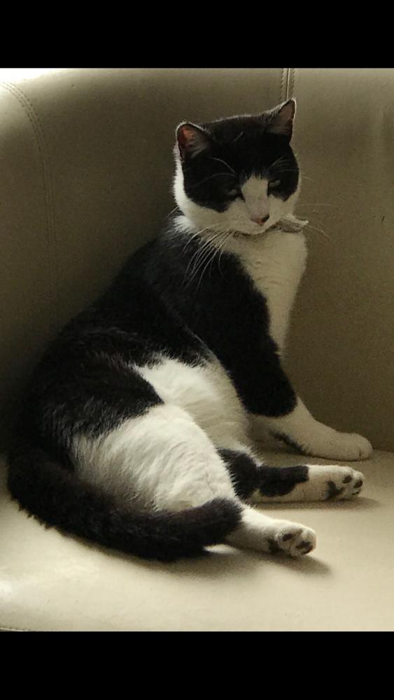 Lost Male Cat last seen Near Shakespeare Rd, Ipswich, UK, , England IP1 6EY