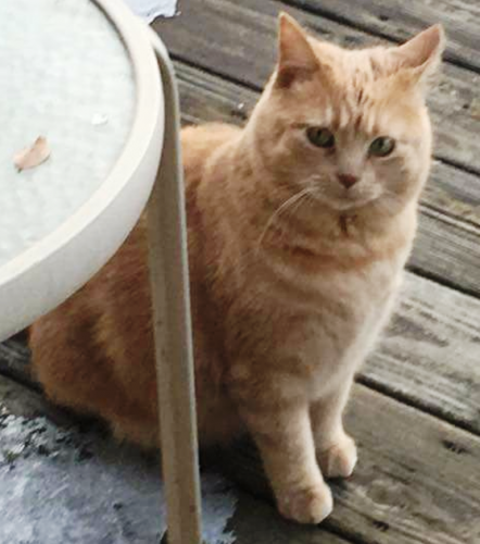 Lost Female Cat last seen Near Manchester Road and Portage Road, Canal Fulton, OH 44614
