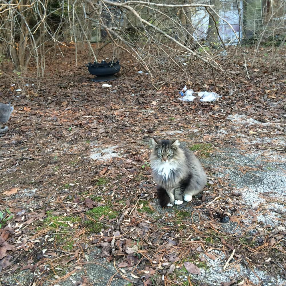 Lost Male Cat last seen Hallowell Rd. and Germantown Pike, Plymouth Meeting, PA 19462