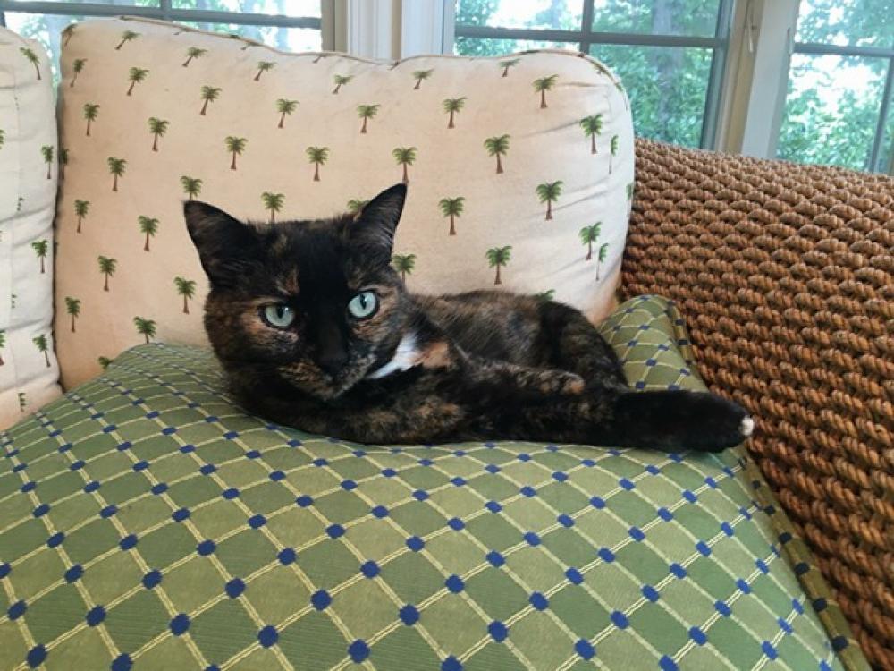 Lost Female Cat last seen Near Clyde Ct & Loch Lomond Dr, Vienna, VA 22181