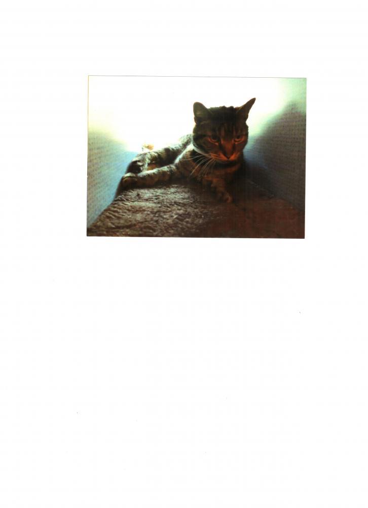 Lost Male Cat last seen Near Bethelen Woods Ln & Erska Woods Ct, Springfield, VA 22153