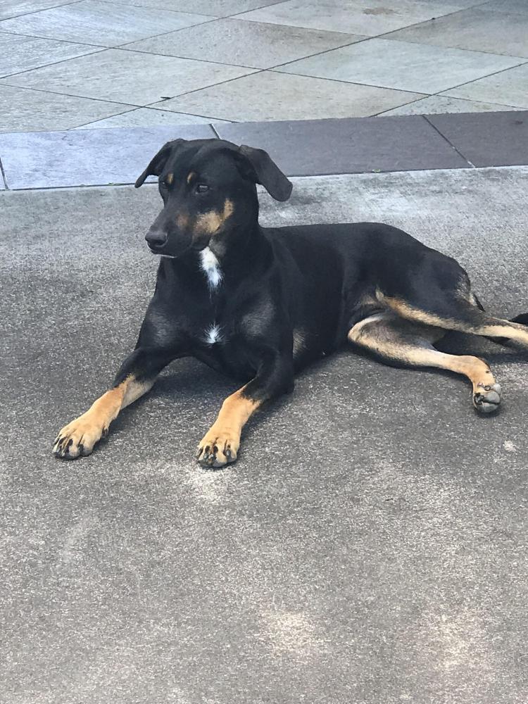 Found/Stray Female Dog last seen Onohi Loop, Pepeekeo, HI, USA, Hawaii County, HI 96781