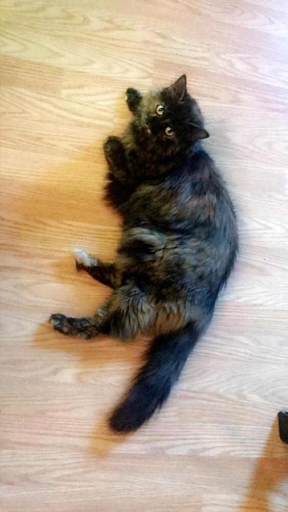 Lost Female Cat last seen Near Irish Ct & Fenceline Dr, Gaithersburg, MD 20878