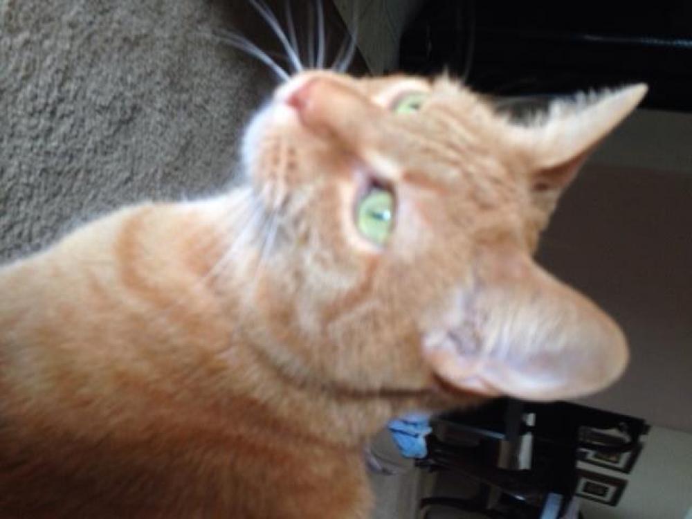 Lost Female Cat last seen  Cobble Lane, Clifton, VA, USA, Clifton, VA 20124