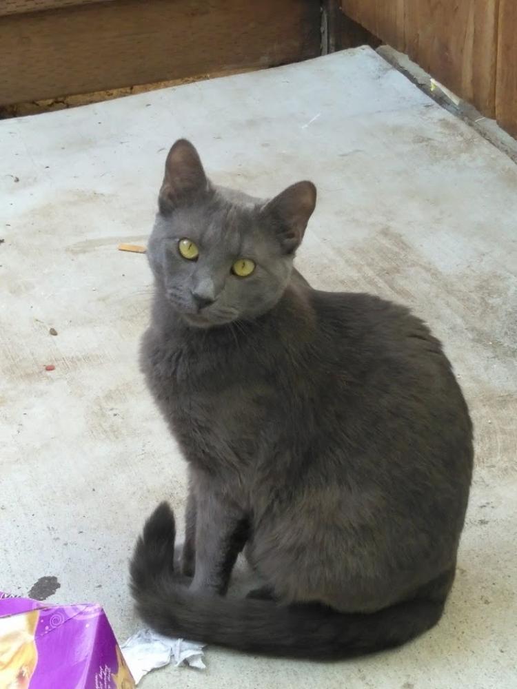 Lost Male Cat last seen Duffy Way, San Jose, CA, USA, San Jose, CA 95116