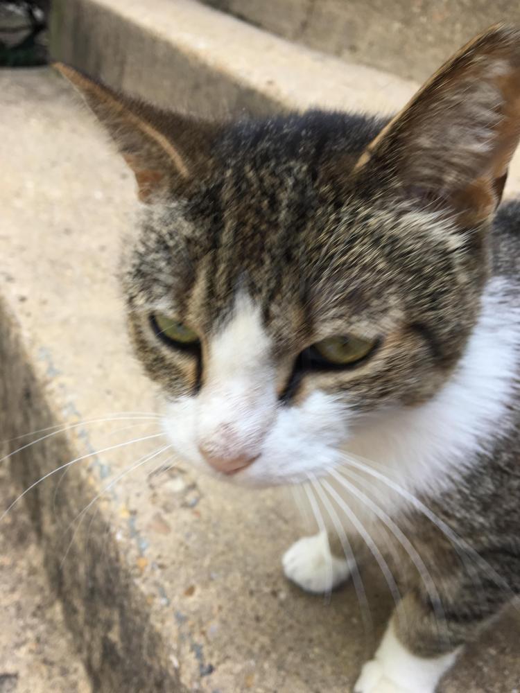 Found/Stray Unknown Cat last seen Near Lyndhurst Dr & Main St, Fairfax, VA 22031