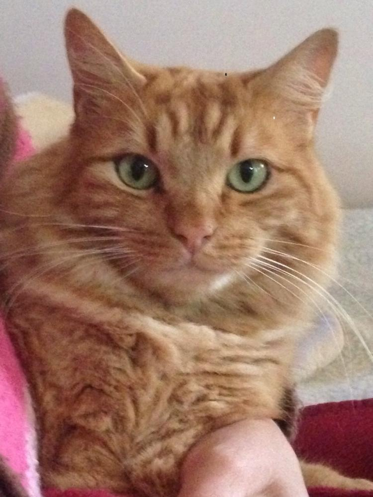 Lost Male Cat last seen Jacaranda Street, Protea Hoogte, Cape Town, South Africa, Cape Town, WC 7560