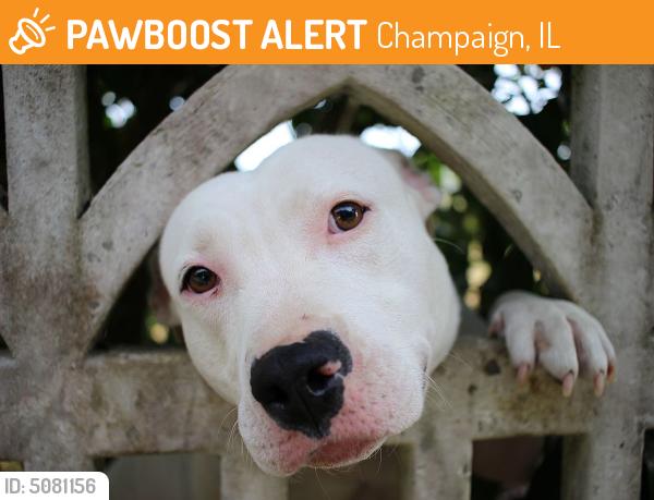 Surrendered Male Dog in Champaign, IL 61822 (ID: 5081156