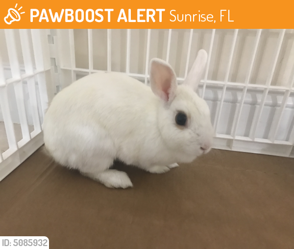 Found/Stray Female Rabbit last seen Near NW 29th St & NW 113th Ave, Sunrise, FL 33323