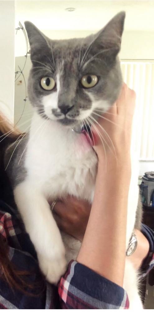 Lost Female Cat last seen Near Sheridan Street & N Park Rd, Hollywood, FL 33021