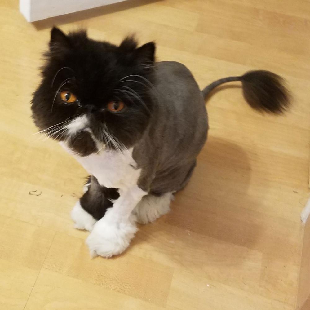 Lost Female Cat last seen Near SW 89th Ter & SW 52nd Pl, Cooper City, FL 33328