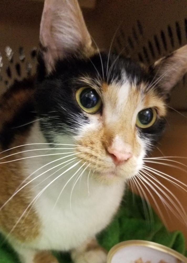 Found/Stray Female Cat last seen Near Executive Center Dr NW & NW 22nd Ave, Boca Raton, FL 33431