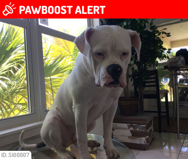 Lost Female Dog last seen Near NW 9th St & NW 2nd Ter, Hallandale Beach, FL 33009