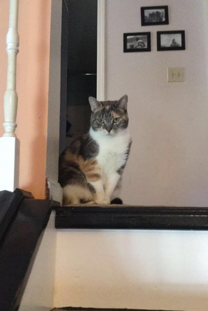 Lost Female Cat last seen Near Olde Mill Ln & Bent Tree Ln, Pataskala, OH 43062