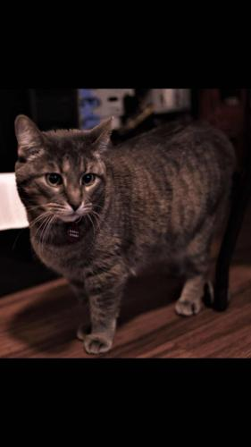 Lost Female Cat last seen Near Fillmore St & N 57th Ave, Hollywood, FL 33021