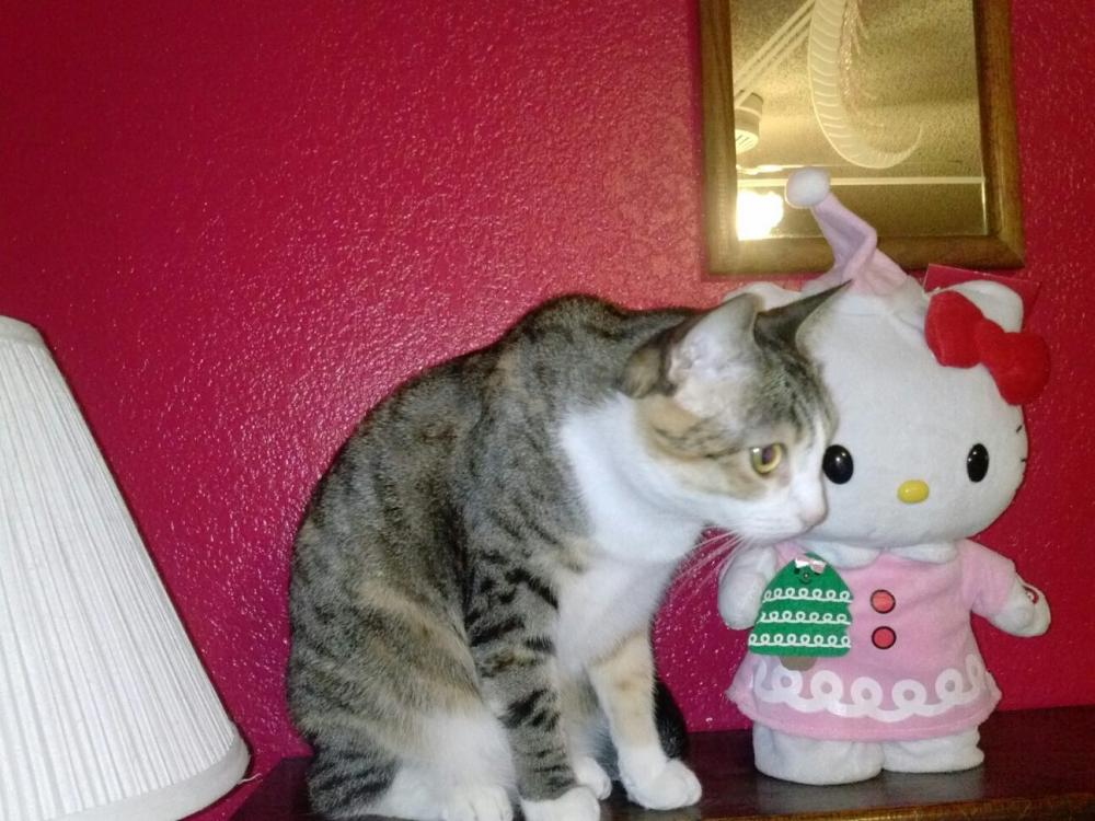 Lost Female Cat last seen Near E Hobart St & N 48th St, Mesa, AZ 85205