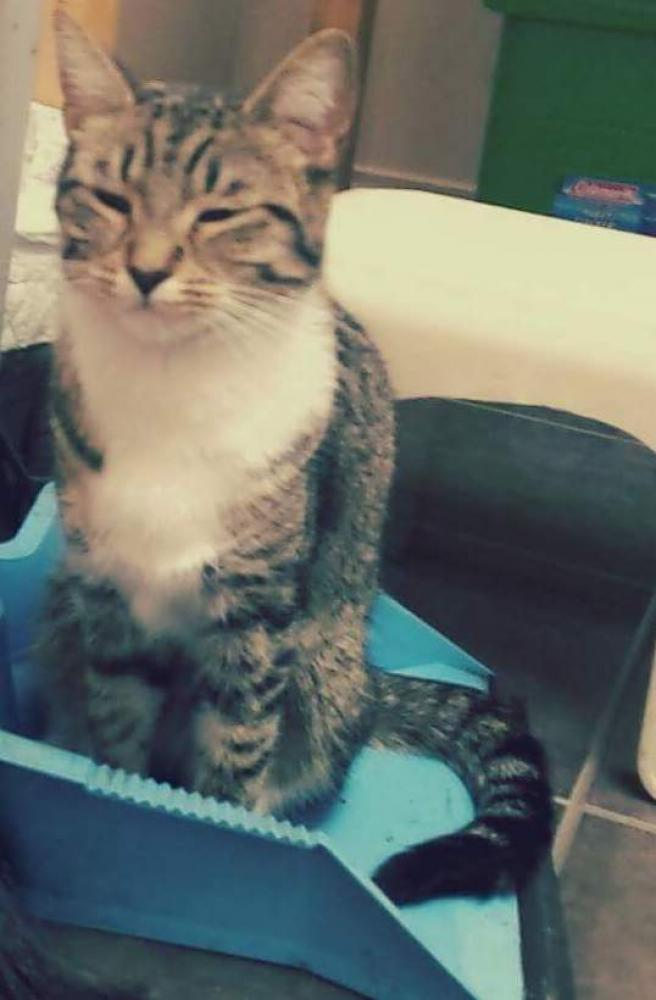 Lost Female Cat last seen Near Broadway and Nanaimo, Vancouver, BC V5M 4T9