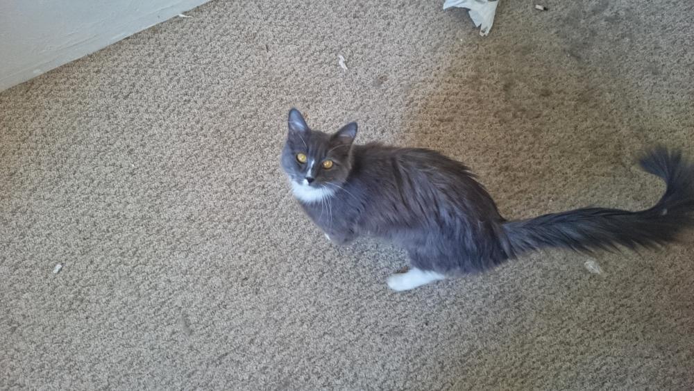 Lost Male Cat last seen Near W Bryan Scott Pl & J Niles Puckett Ave, Vail, AZ 85641
