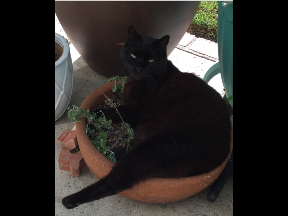 Lost Male Cat last seen Near Margarita Ln & Fenwick Dr, Huntington Beach, CA 92647
