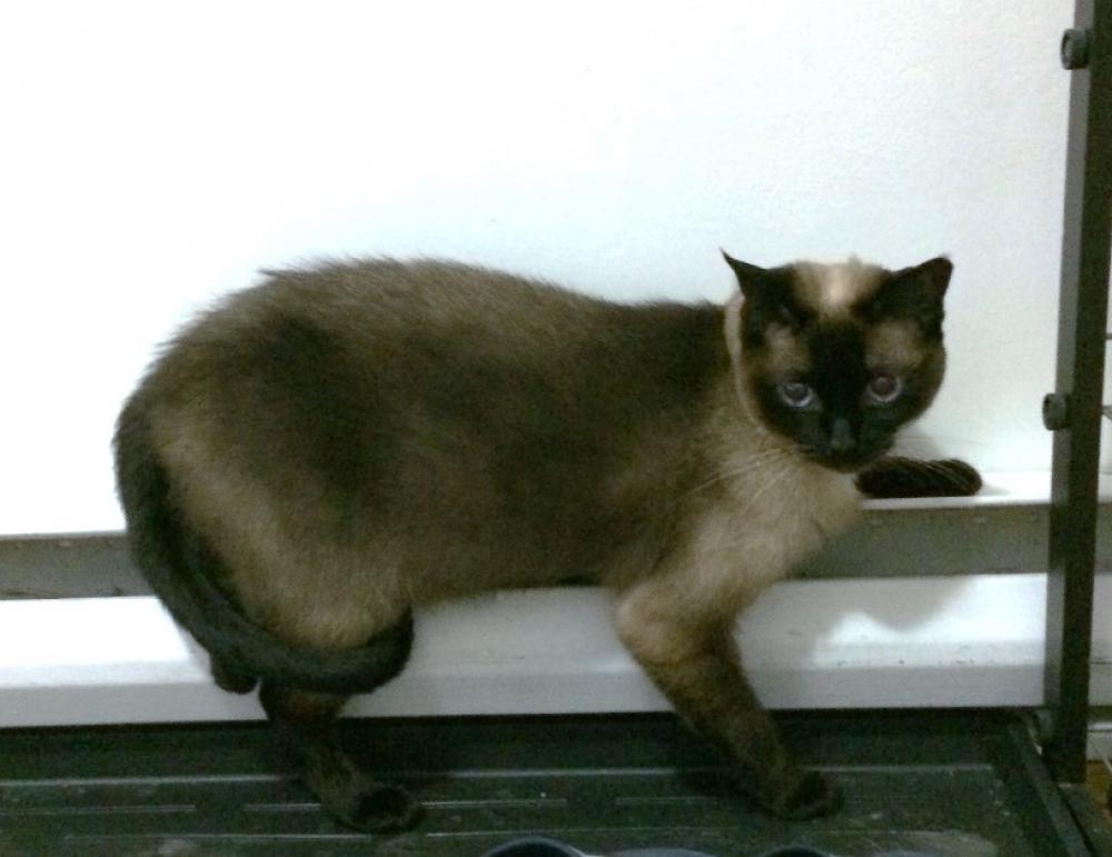 Lost Female Cat last seen Rue Benoit, Chambly, QC, Canada, Chambly, QC J3L
