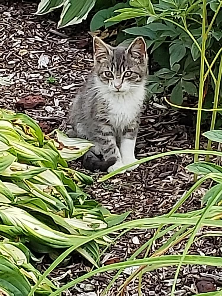 Found/Stray Unknown Cat last seen Near Antler Dr & Remington Dr, Macomb, MI 48042