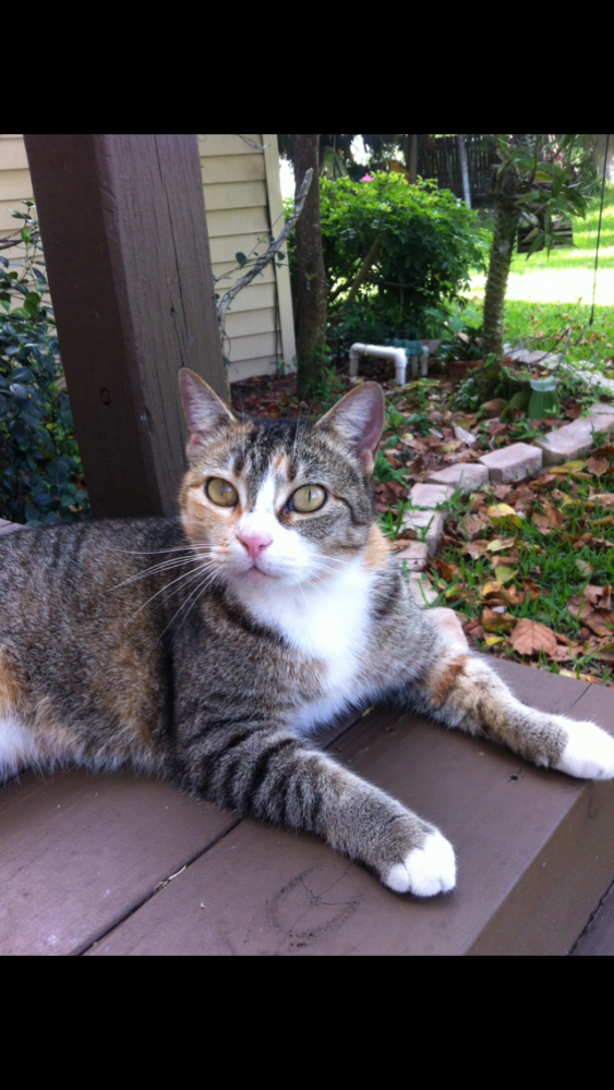 Lost Female Cat last seen Near Parkside and Loxahatchee Rd, Parkland, FL 33428