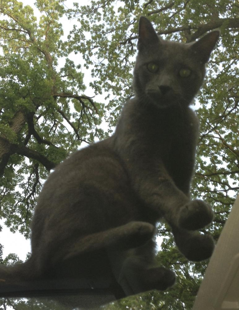 Lost Male Cat last seen Near 19th St & Home Ave, Berwyn, IL 60402
