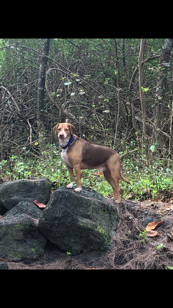 Lost Male Dog last seen Near Kilauea Ave & Leihala Dr, Hilo, HI 96720